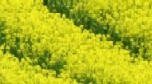 Brassica crop end-use